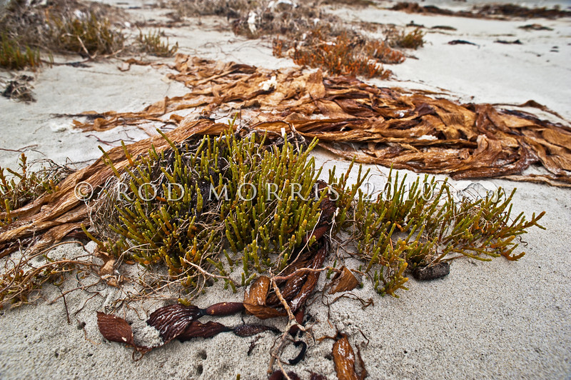 DSC_0302 Glasswort, or ureure (Sarcocornia quinqueflora) a flowering plant of the salt marsh, upper intertidal zone. Often found on raised shell banks and muddy shingle. Aramoana *