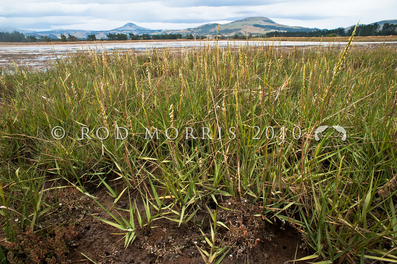 DSC_1360 Cord grass (Spartina sp.) an introduced weed which grows vigorously on tidal mud flats, where no other plant establishes. The clumps are very effective at trapping sediments, causing land to build up around them, and destroying natural saltmarsh habitats. Wakouaiti Rivermouth *