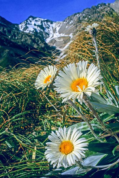 11009-33509 Large mountain daisy (Celmisia semicordata) in flower in alpine basin *