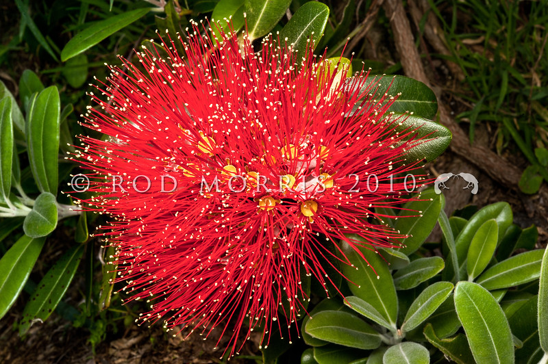 DSC_3163  Pohutukawa (Metrosideros excelsa) the unusually bright scarlet flowers, and long stamens of the cultivar 'Vibrance', sourced from Waiomu Bay, Coromandel Peninsula. Introduced by plantsman Graeme Platt this is just one of more than 20 pohutukawa selections he has made from wild plants, and mature plants in cultivation, and selected by him for the quality of their habit and form, resulting in plants of excellent garden quality.  Otago Peninsular *
