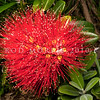 DSC_3163  Pohutukawa (Metrosideros excelsa) the unusually bright scarlet flowers, and long stamens of the cultivar 'Vibrance', sourced from Waiomu Bay, Coromandel Peninsula. Introduced by plantsman Graeme Platt this is just one of more than 20 pohutukawa selections he has made from wild plants, and mature plants in cultivation, and selected by him for the quality of their habit and form, resulting in plants of excellent garden quality.  Otago Peninsula *