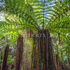 DSC_8101127  Soft tree fern, or katote (Cyathea smithii) smaller than Cyathea medullaris, this slow growing tree fern reaches up to 8m tall, and grows throughout New Zealand. On the subantarctic Auckland Islands it becomes the southern-most tree fern in the world. The fronds often leave a skirt around the slender, fibrous trunk after they have died. Rakaitane Track, Moana *