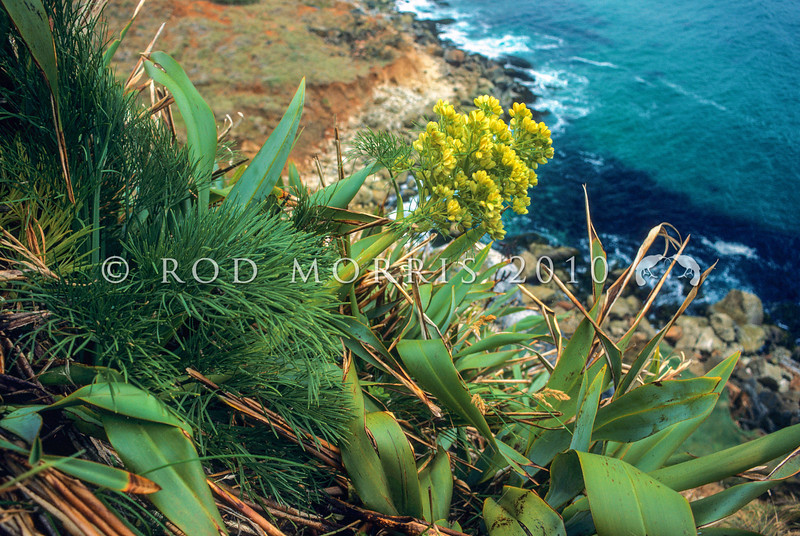 11009-26101 Coxella, or Soft speargrass (Aciphylla dieffenbachii) seedhead on plant growing amongst flax on coastal cliffs. Pitt Island, Chathams Group.