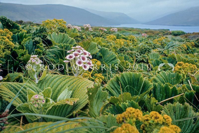 1009-33214 Giant aster (Pleurophyllum speciosum) in flower amongst Stilbocarpa, in Fairchild's Garden, Adam's Island, Aucklands Group