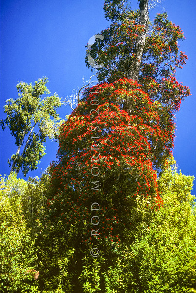 11009-16906  Southern rata (Metrosideros umbellata) tree in full flower in summer, northern Westland *