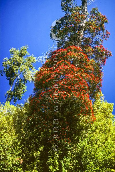 11009-16906  Southern rata (Metrosideros umbellata) tree in full flower in summer, northern Westland.