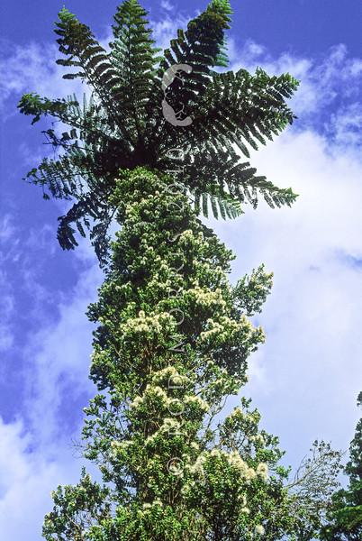 11009-17305  Small white climbing rata, or akatorotoro (Metrosideros perforata) view of flowering vine on tree fern, Kaimai Ranges *