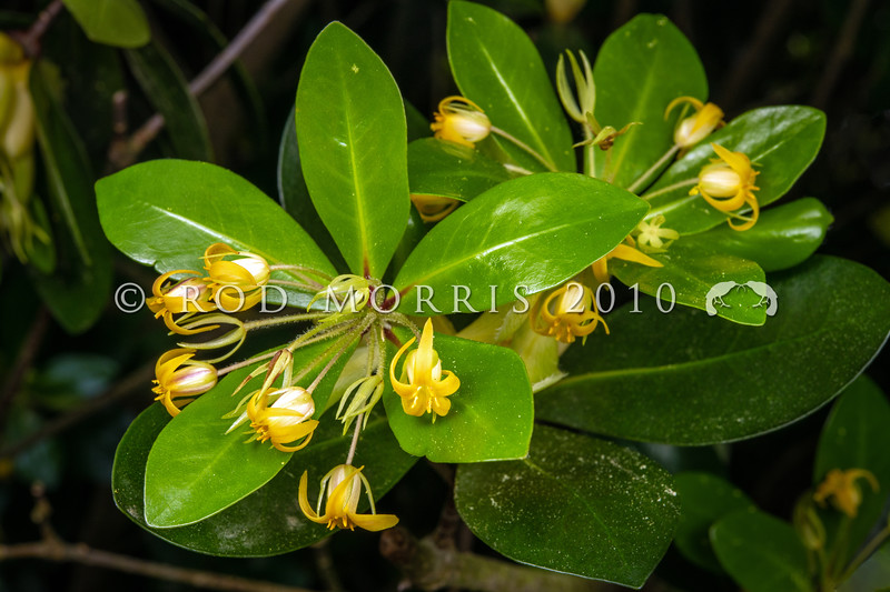 DSC_2962 Roimata pittosporum, or tāwhirikaro (Pittosporum roimata) a shrub epiphyte, growing on rocks or other trees. Branches have a distinctive whorled architecture, with 3-5 oval pointed leaves and delicately perfumed, orange-yellow flowers on long stalks in spring. It is endemic to the Poor Knights Islands. Phylogenetic studies suggest a New Caledonian origin for the species. *