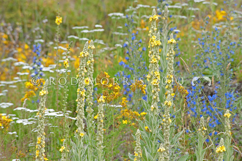 DSC_8608  These introduced wild flowers which love disturbed stony soils with lots of sunlight, could almost be from a painting by Monet. They include pale lemon flowered Woolly mullein (Verbascum thapsus), blue Viper's bugloss (Echium vulgare), yellow St John's wort (Hypericum perforatum) and white flowered Common yarrow (Achillea millefoliumon), naturalised on Molesworth Station *