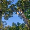 DSC_4979 Totara (Podocarpus totara var. totara) trunks of an ancient 400+ year old trees in Peel Forest *
