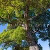 DSC_4670 Ngaio (Myoporum laetum) a solitary old tree against the sky. Ngaio, Wellington *