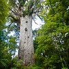 DSC_5673 Kauri (Agathis australis) Tane Mahuta, the largest kauri still standing in Waipoua forest, a remnant of the ancient subtropical rainforest that once grew on the North Auckland Peninsula. Standing a little over 50m tall, and estimated to be between anywhere between 1,250 and 2,500 years old, Tane Mahuta (father of the forest) was first identified by europeans in the 1920s when contractors surveyed the present State Highway 12 route through the forest. Waipoua Forest, Northland *