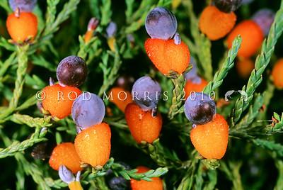 11009-06124  Kahikatea (Dacrycarpus dacrydiodes) detail of fruits *