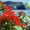 11009-16702  Pohutukawa (Metrosideros excelsa) flowers in the canopy of the coastal forest of the Poor Knights Islands *