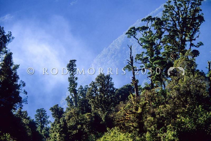 11009-06136  Kahikatea (Dacrycarpus dacrydiodes) forest in sunlight. Westland *