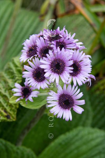 DSC_2687 Great emperor daisy (Pleurophyllum speciosum) the subantarctic's most spectacular megaherb, in flower on Col Lyall, Campbell Island *