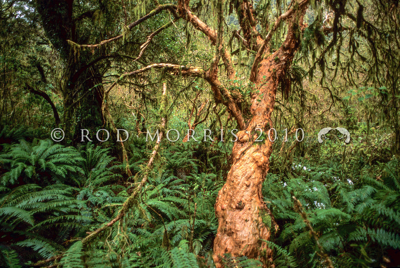 11009-15008 Tree fuchsia (Fuchsia excorticata) the trunk of a mature tree in Fiordland's rainforest near the Main Divide. Lake Fergus *