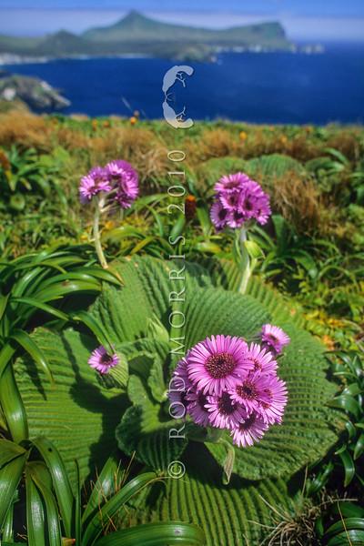 1009-33101 Great emperor daisy (Pleurophyllum speciosum) the subantarctic's most spectacular megaherb, in flower on Col Lyall, Campbell Island *