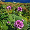 1009-33101 Giant aster (Pleurophyllum speciosum) in flower on Campbell Island