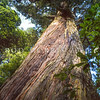 11009-06503 Totara (Podocarpus totara var. totara) trunk of a 400 year old tree in Peel Forest *