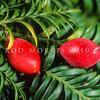 11009-06306 Miro (Prumnopitys ferruginea) leaves and large red fleshy fruits on tree. Dunedin *