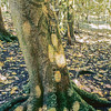 11009-21901 Kopi, or karaka (Corynocarpus laevigatus) tree with figurative image carved by Moriori people into the bark. This tree-carving, known to Moriori as rakau momori, is believed to have been done 200-350 years ago. Such examples are only bark deep, and disappear when the tree dies. Hapupu National Historic Reserve, Chatham Islands
