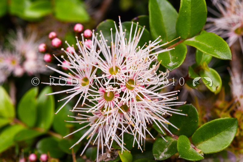 DSC_1633 White climbing rata, or akakura (Metrosideros diffusa) soft pink flowers on a forest liane or vine. Endemic to New Zealand, it is the most common of our climbing rata, and is found throughout the North, South and Stewart Islands. Tautuku, Catlins Coast *