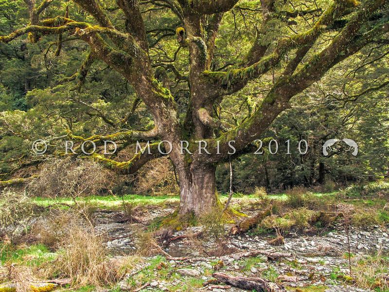IMG 1624 Silver beech (Lophozonia menziesii) large tree at forest edge. This is mohua (yellowhead) habitat. Makarora Valley *