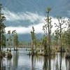 DSC_8101236  Kahikatea (Dacrycarpus dacrydiodes) forest in early morning mist, on the lake shore. Moana, Lake Brunner *