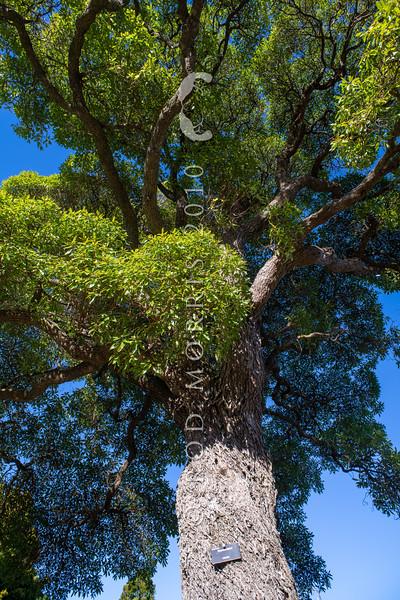 DSC_4668 Ngaio (Myoporum laetum) a solitary old tree against the sky. Ngaio, Wellington *