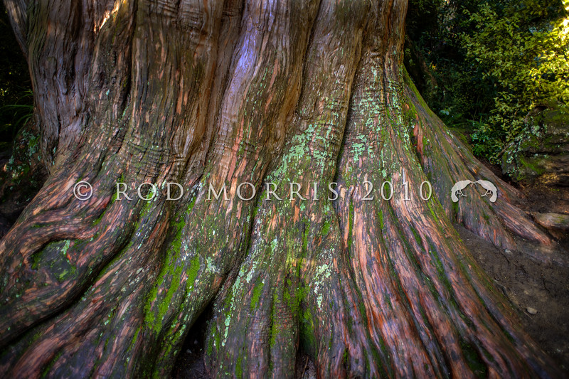 DSC_4999 Totara (Podocarpus totara var. totara) base of the trunk of an ancient 400+ year old tree in Peel Forest *