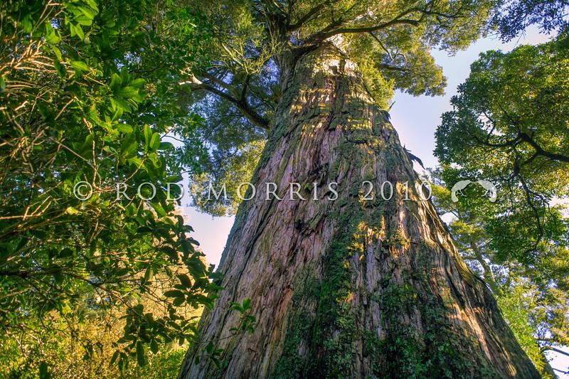 DSC_5000 Totara (Podocarpus totara var. totara) trunk of an ancient 400+ year old tree in Peel Forest *