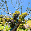 DSC_7339 Pohutukawa (Metrosideros excelsa) a mature tree on the New Zealand mainland which has been completely defoliated and killed, by the introduced brushtailed possum. Urquats Bay, Whangarei Heads *