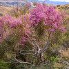 DSC_8554 Pink broom (Carmichaelia carmichaeliae) mature tree perhaps 4m tall, in full flower and growing in grey scrubland. Marlborough