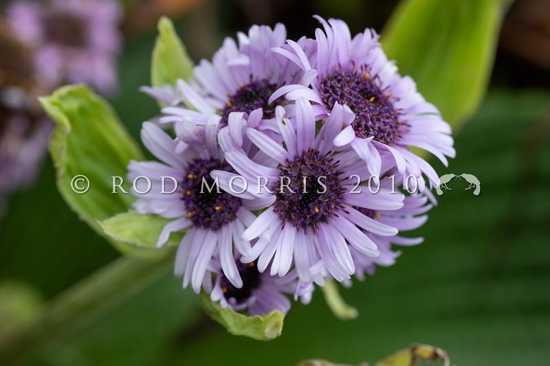 DSC_2727 Great emperor daisy (Pleurophyllum speciosum) the subantarctic's most spectacular megaherb, in flower on Col Lyall, Campbell Island *