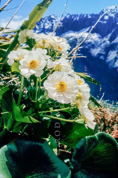 11009-09001  Mount Cook buttercup (Ranunculus lyallii) in full flower on Sinbad Gully Wall, Fiordland.