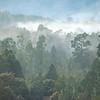 DSC_8101219  Kahikatea (Dacrycarpus dacrydiodes) forest in early morning mist, on the lake shore. Moana, Lake Brunner *