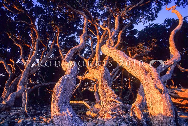 11009-16809  Pohutukawa (Metrosideros excelsa) twisted trunks in evening light on Little Barrier Island.