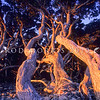 11009-16809  Pohutukawa (Metrosideros excelsa) twisted trunks in evening light on Little Barrier Island *