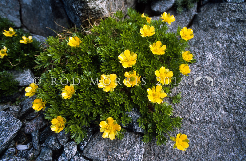 11009-09405  Silky alpine buttercup (Ranunculus sericophyllus) on higher mountains from Lewis Pass southwards. Found in snowbanks and sheltered fellfields. The common name refers to the slight hairiness of the deeply dissected trifoliate leaves. Sinbad Gully, Fiordland *