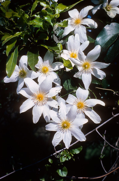 11009-11002 White clematis, or puawananga (Clematis paniculata) large white male flowers.  An attractive climbing forest vine producing masses of white flowers in the forest canopy in spring. Endemic to the North, South and Stewart Islands from coastal to to montane areas, in shrubland or tall forest. Lake Manapouri, Fiordland *