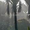 DSC_2351 Nikau (Rhopalostylis sapida) trunks in mist. Punakaiki *