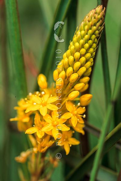 11009-52105  Maori onion (Bulbinella angustifolia) detail of flower. A perennial lily found in subalpine grasslands and alpine herbfields. Ahuriri Valley *