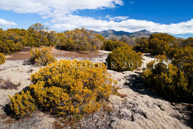 DSC_2987 Bog pine (Halocarpus bidwillii) view of the best surviving remnant of bog pine vegetation in the Te Anau Basin. Wilderness Scientific Reserve *