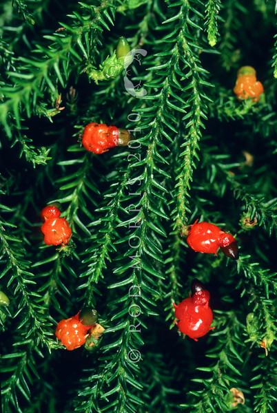 11009-07104 Rimu (Dacrydium cupressinum) female fruits, showing epimatium and subtending bract scales and receptacle leaves coloured up
