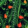 11009-07104 Rimu (Dacrydium cupressinum) female fruits, showing epimatium and subtending bract scales and receptacle leaves coloured up *