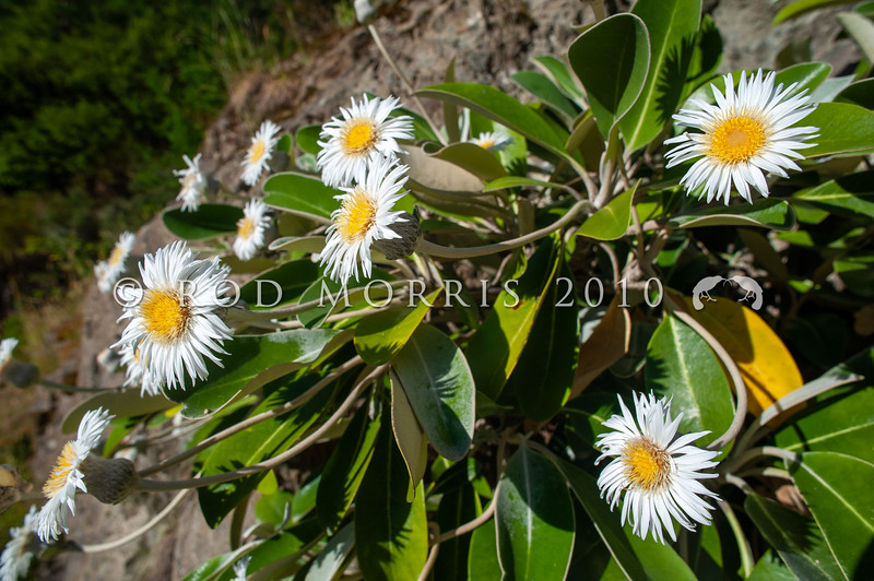 DSC_8361 Marlborough rock daisy (Pachystegia insignis) flowering plant on rock bluff, Clarence River Valley, Marlborough *