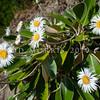 DSC_8361 Marlborough rock daisy (Pachystegia insignis) flowering plant on rock bluff, Clarence River Valley, Marlborough *