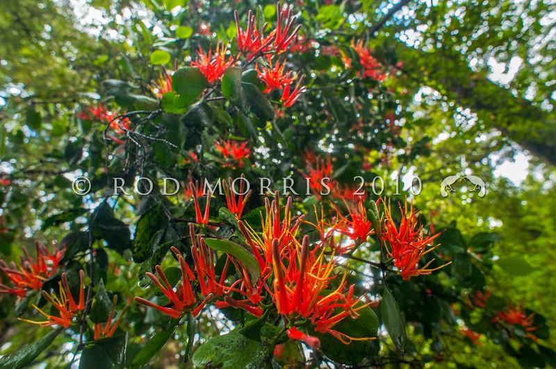 DSC_1999 Scarlet mistletoe or korukoru (Peraxilla colensoi) view of flowering plant in silver beech forest. St Arnaud, Nelson Lakes *