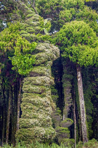 DSC_9817  White climbing rata (Metrosideros diffusa) view of dense, wind shorn mature growth, covered in summer flowers, on rimu (Dacrydium cupressinum) tree near forest edge. Okuru River *